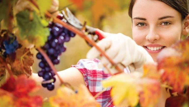 Obvestilo za vinogradnike